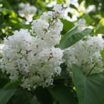 Blomstrende syrener